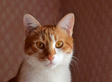 Red cat face in the interior Royalty Free Stock Image