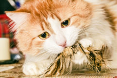 Red cat with feather toy Royalty Free Stock Image
