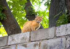 Red cat on a fence Royalty Free Stock Image