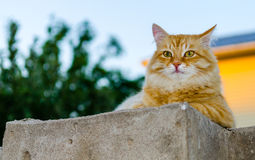 Red cat on a fence Royalty Free Stock Photos