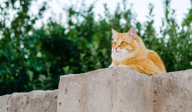 Red cat on a fence Stock Photos
