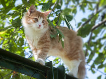 Red cat is on the fence Stock Photography