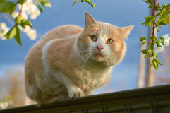 Red cat is on the fence. Outdoor Stock Images
