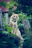 The red cat on the fence. Stock Images
