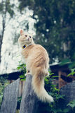 The red cat on the fence. Stock Photography