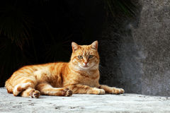 Red cat. On the floor Royalty Free Stock Photo