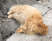 Red cat with fluffy fur Royalty Free Stock Photos
