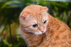 Red scottish fold cat on green background. Red cat with folded ears on green background Royalty Free Stock Photo