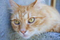 Red Cat. In front of the house Royalty Free Stock Images