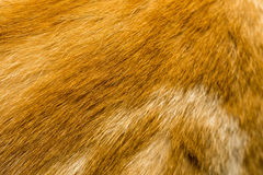 Red Cat Fur Texture Stock Photography