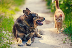 Red cat goes to a big dog Stock Images