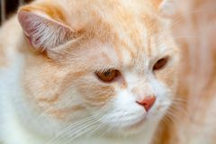Red cat Gold chinchilla. stock images