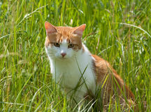 Red cat in the grass Royalty Free Stock Photography