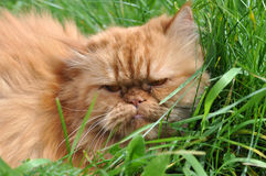 Red cat in grass Royalty Free Stock Images
