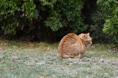 Red cat on the grass. Red green-eyed cat resting on the green grass stock photos