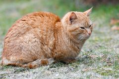 Red cat on the grass. Red green-eyed cat resting on the green grass royalty free stock images