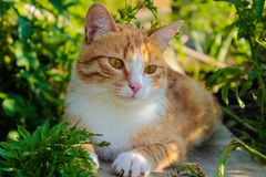 Red cat in the grass royalty free stock photo