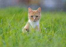 Red cat in the grass. Red cat playing in the grass Royalty Free Stock Photo