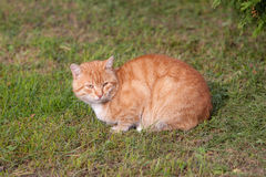 Red cat on grass Royalty Free Stock Image