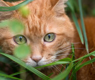 Red cat in the grass. Stock Image