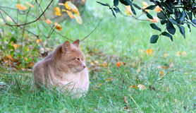Red Cat on the Grass Royalty Free Stock Image