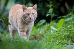 Red cat on green Royalty Free Stock Images