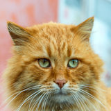 Red cat with green eyes Stock Images