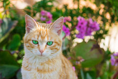 Red cat with green eyes Stock Photo