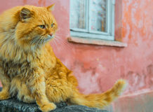 Red cat with green eyes Royalty Free Stock Images