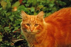Red cat on the lawn royalty free stock image
