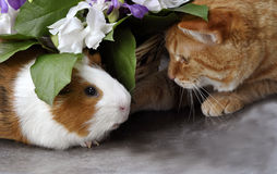 Red cat . Guinea pig. Royalty Free Stock Image