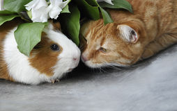 Red cat and Guinea pig. Red cat kisses haired Guinea pig under the leaves Stock Photos