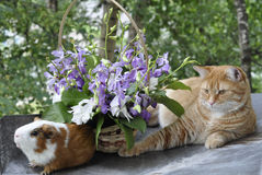 Red cat and Guinea pig. Red cat and a Guinea pig rest in the street next to a basket with orchids Stock Photos