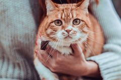 Red cat on the hands of a girl. Red cat looking directly at the hands of a girl Royalty Free Stock Photos