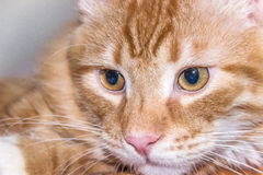 Red Cat head close-up look Stock Images