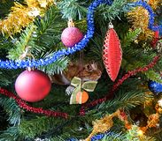Red cat hiding in branches of Christmas tree among decorations and balls. Selective focus royalty free stock photos