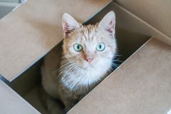 Red cat hiding in a carton box looking up. Facing the camera Royalty Free Stock Image