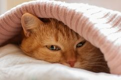 Red cat hiding under blanket pink. A red cat hides from the cold under a pink knitted plaid, close-up Stock Photography