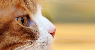 Red cat hunting outdoors Stock Image