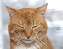 Red cat with infected eye stock photography