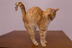Free Red Cat Is On The Table Royalty Free Stock Photos - 47731408
