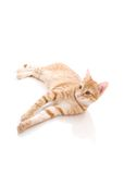 Red cat isolated on a white Stock Photos