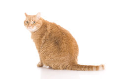 Red cat isolated on a white Royalty Free Stock Images