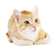 Red cat Royalty Free Stock Images