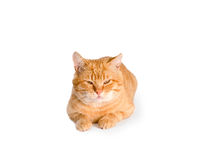 Red cat  isolated Royalty Free Stock Photo