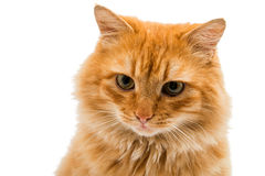 red cat isolated Royalty Free Stock Image