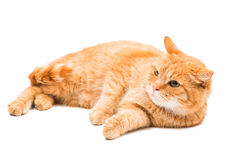 Red cat isolated Stock Image
