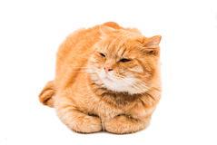 Red cat isolated Stock Photo