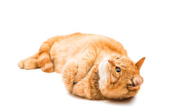 Red cat isolated Stock Images