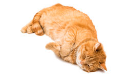 Red cat isolated Royalty Free Stock Photos